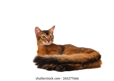 Somali cat on a white background. Cat lying.