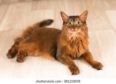 Somali cat portrait lying at studio on light wooden parquet