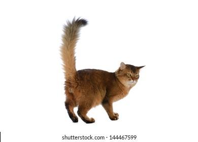 Somali cat  ruddy color isolated on white background