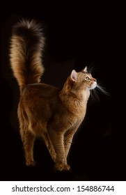 Somali cat  ruddy color on black background