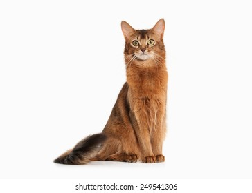 Somali cat ruddy color on white bakcground