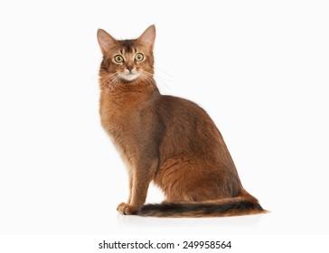 Somali cat ruddy color on white bakcground