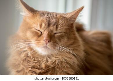 Somali cat sunning in a window.