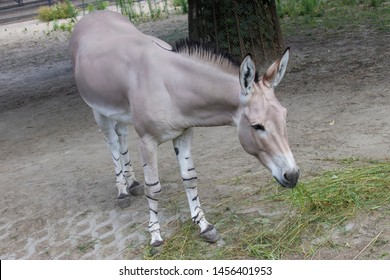 a Somali wild ass is eating grass. It is a subspecies of the African wild ass. The legs of the Somali wild ass are striped, resembling those of its relative, the zebra