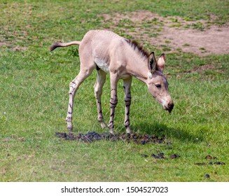 Somali wild ass foal in a meadow, eating.