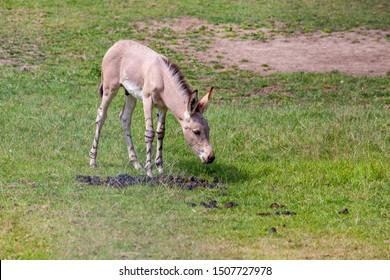 Somali wild ass foal in a meadow. Cute.