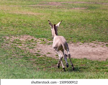 Somali wild ass foal running around a meadow, having a funny five minutes. Cute.