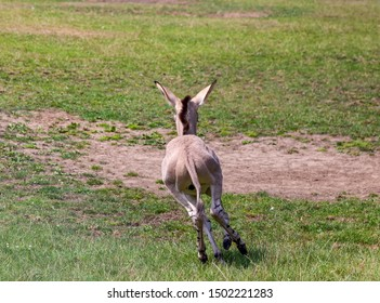 Somali wild ass foul running in a meadow. Cute.