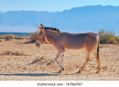 Somali wild donkey(Equus africanus). This species is extremely rare both in nature and in captivity. Nowadays it inhabits nature reserve near Eilat, Israel
