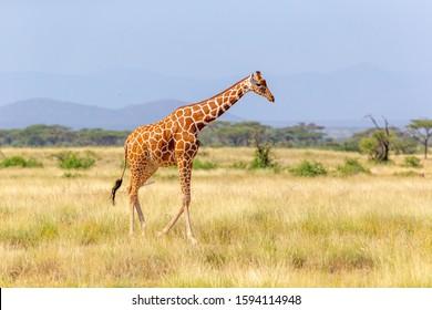 The Somalia giraffe goes over a green lush meadow