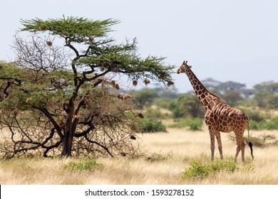 A Somalia giraffes eat the leaves of acacia trees