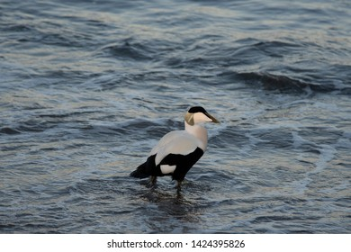 Somateria mollissima, ducks in the Baltic Sea
