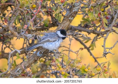 Sombre Tit (Poecile lugubris) is found in deciduous and mixed forests in mountainous or rocky areas.