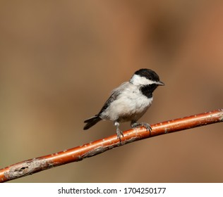 Sombre tit Poecile lugubris perched on a tree branch