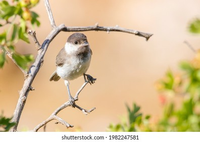Sombre Tit (Poecile lugubris) is a songbird that lives in mountainous and forested areas in Asia and Europe.