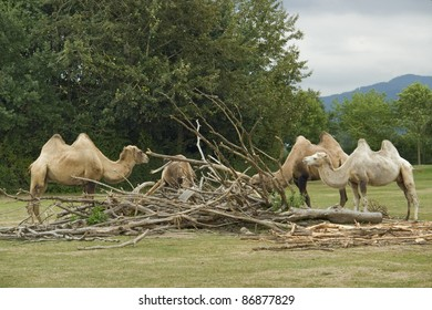 some Bactrian Camels in rainy ambiance
