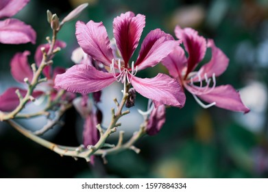 Some bauhinia flowers in the Sun