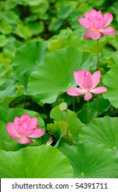 some beautiful lotus in the pond