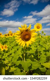 Some beautiful photos of sunflowers