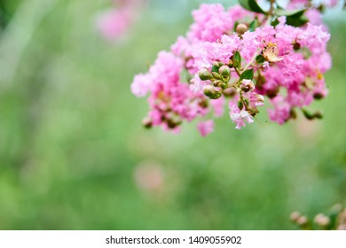 Some beautiful pink lilac flowers in a garden. Scientific name is Syringa vulgaris
