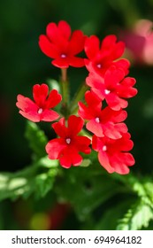 Some beautiful red verbena with green background