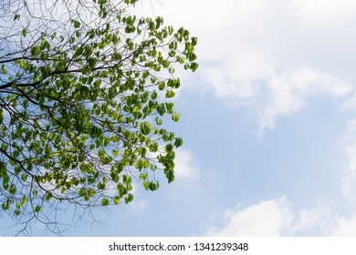 some of beauty green leaves with dry branches reached out by its nature for photosynthesis under bright blue sky and big white clouds. It made environment feel healthy, shady and relax in summer