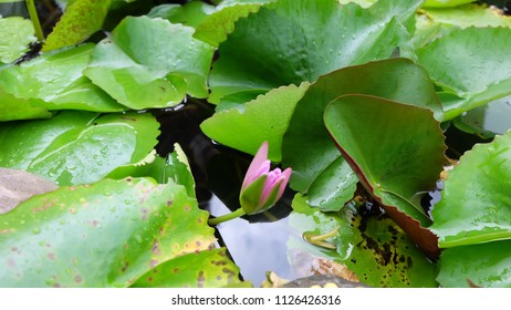 Some big green lotus leaves and pink lotus on the pond with some rain drops on the lotus leaves feel freshness