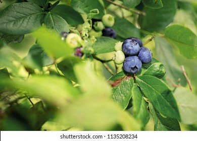 Some blueberries on bush. Summer sunny day.
