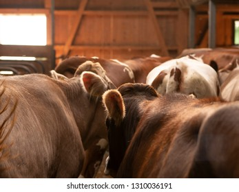 some brown cows in a old wooden stable