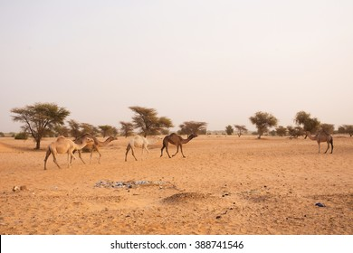 Some camels in Mauritania