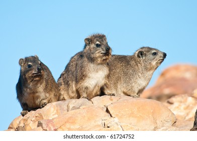 Some Cape Hyrax basking in the sun, also known as dassie in Southern Africa.