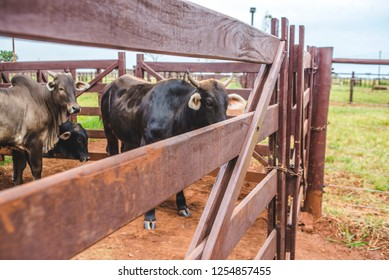 Some cattle inside fences
