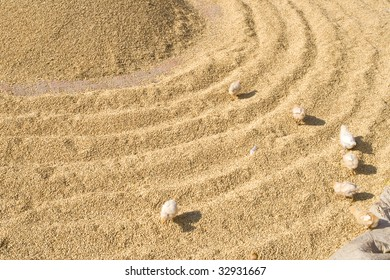 Some chicks run over circles of rice