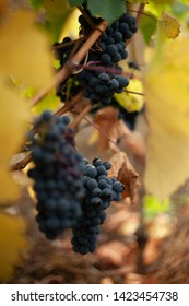 some clusters of purple grapes with yellow background