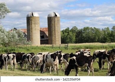 Some cows eating infront of the silos