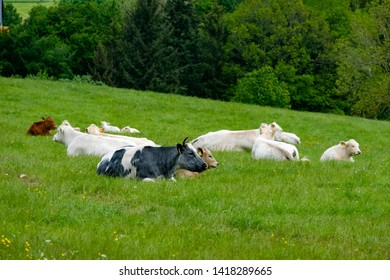 Some cows relaxing on a meadow, Eifel, Germany