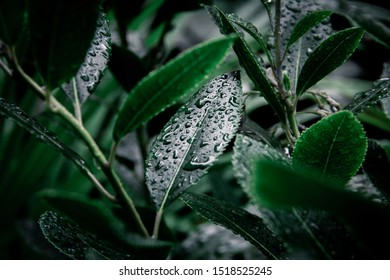 Some dark green leaves filled with rain drops in a moody setting.