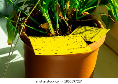 some dark-winged fungus gnats are stuck on a yellow sticky trap