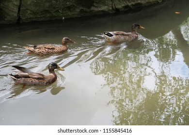 Some ducks in a pond