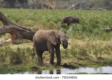Some elephants drinking from a small pool