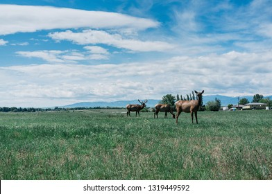Some elk in Sheridan, WY