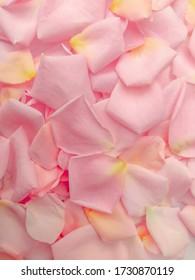 Some Fallen Pink Rose Petals