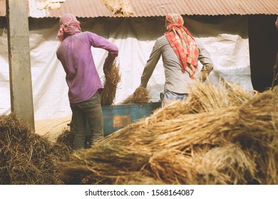 Some farmer threshing paddy in a small farm. Experienced farmer showing how to thresh paddy in home. Cheerful farmer working his their own farm. This image contains Paddy threshing and working farmer.