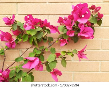 Some Flowers of Bouganville on a Brick Wall