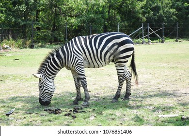 Some focus of The single zebra is eating grass in the field or forest or park or The side zebra is standing alone near feces of zebra in zoo or safari