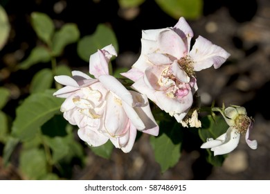 Some fragrant romantic beautiful pale ivory creamy pink  roses blooming in  spring  add fragrance and  decorative fleeting  beauty to the home  garden landscape.