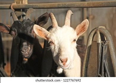 some goat and billygoat free in a farm