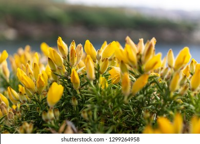 some gorse flowers