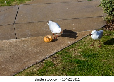Some  graceful white seagulls are pecking at a  round white bread bun left by picnickers  on a sunny winter morning  on the green grassy banks of the estuary.