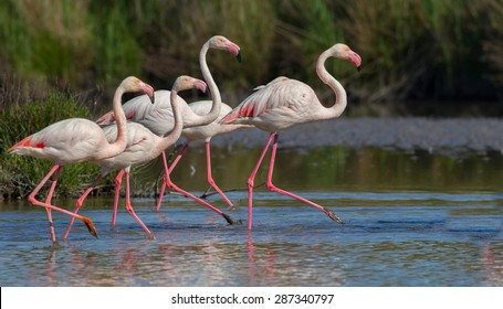 Some Greater Flamingo (Phoenicopterus roseus) walk on a swamp